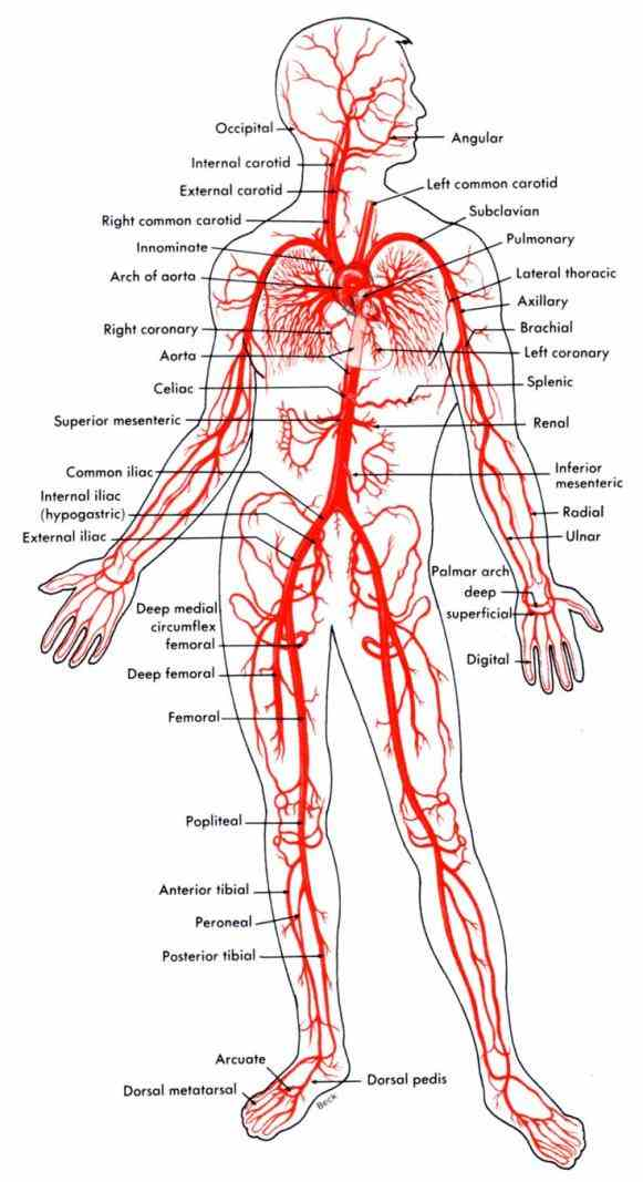 textbook vessels carry nutrients and oxygen throughout body aid gas exchange anatomy physiology cardiovascular system vessels learn Anatomy Of