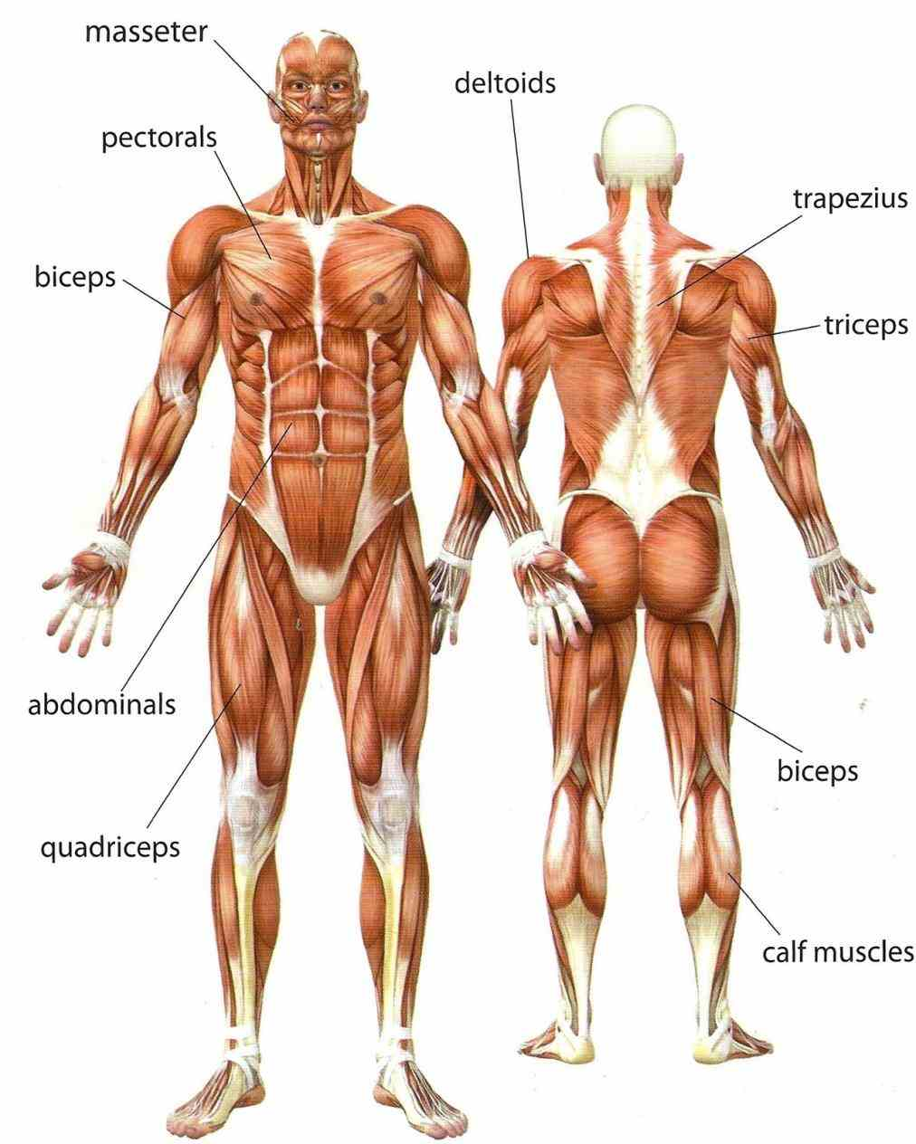 that attached most muscles are two  the Muscular Parts Of The Body muscular system is comprised of sum total