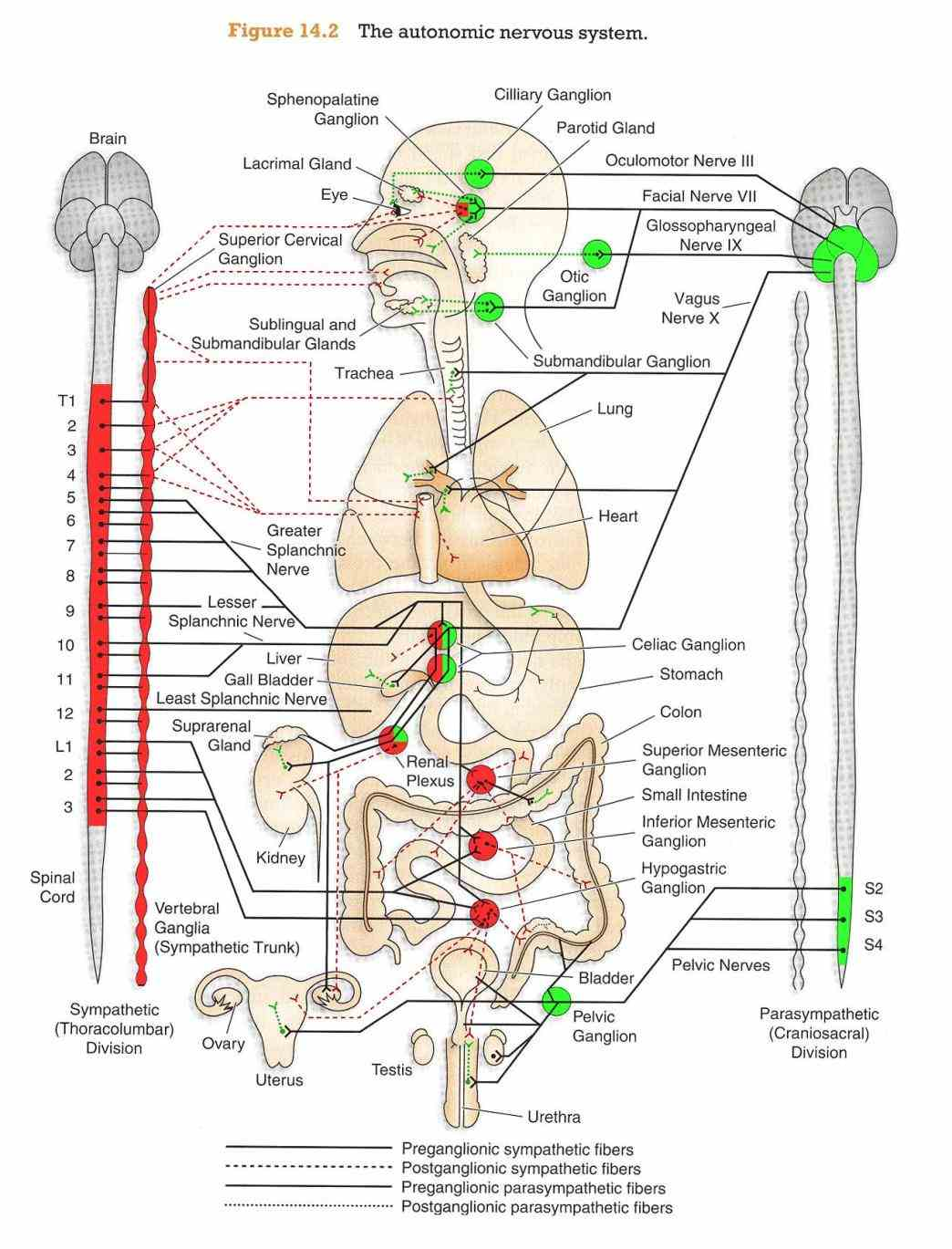 that  de Anatomy Autonomic Nervous System jul autonomic nervous system by dr manah chandra changmai at Anatomy Autonomic Nervous