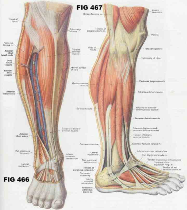 that lies from knee to ankle called crus or cnemis  from Human Detailed Structure Leg the large strong muscles