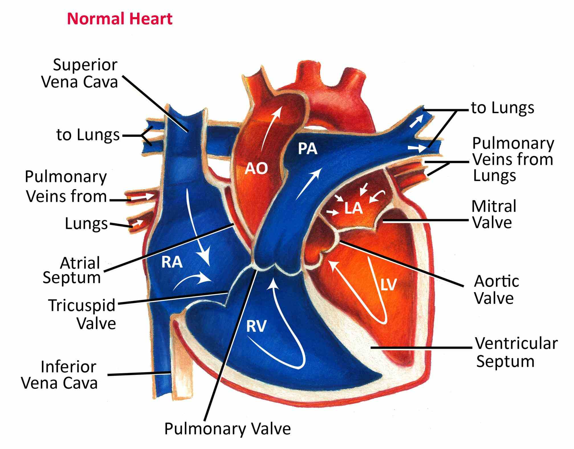 that oxygenated from lungs passes major arteries and gets heart Labeled Diagram Of The Heart And Blood Flow blood