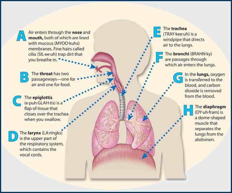 the All Parts Of The Respiratory System And Their Functions main parts of respiratory system and their functions