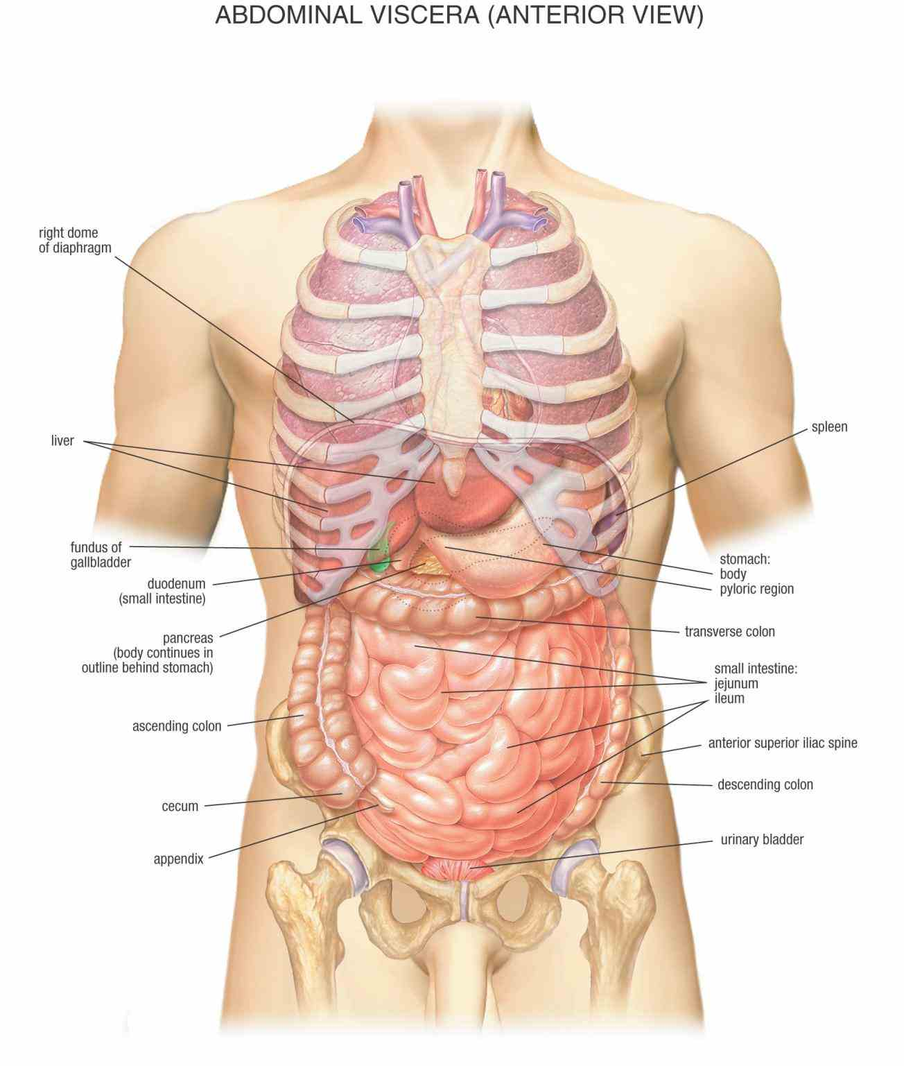 the Anatomical Position Of The Stomach stomach is a hollow organ that lies between esophagus food pipe and