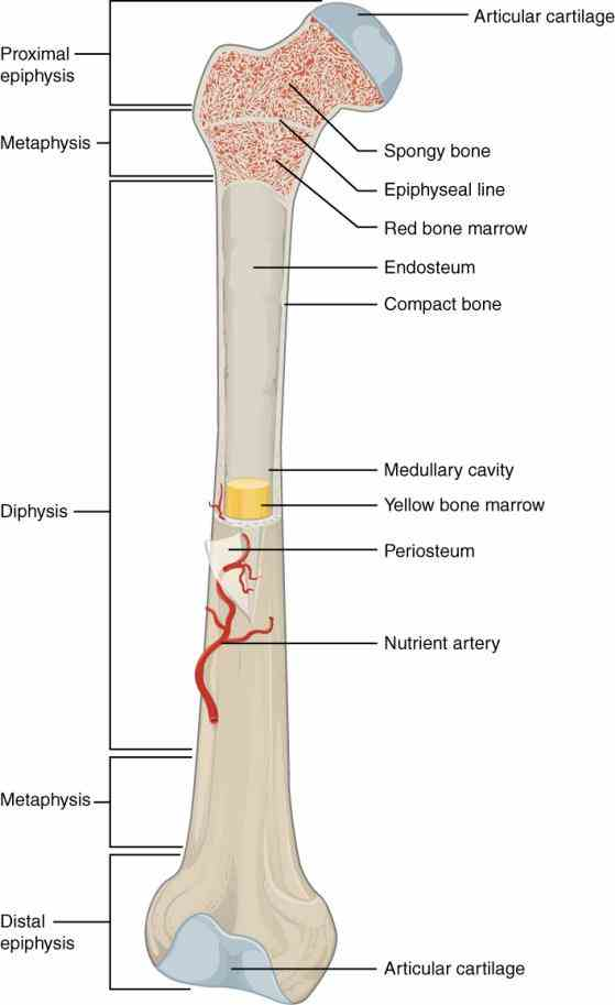 the Anatomy Of A Typical Long Bone long bones are those that longer than they wide one of