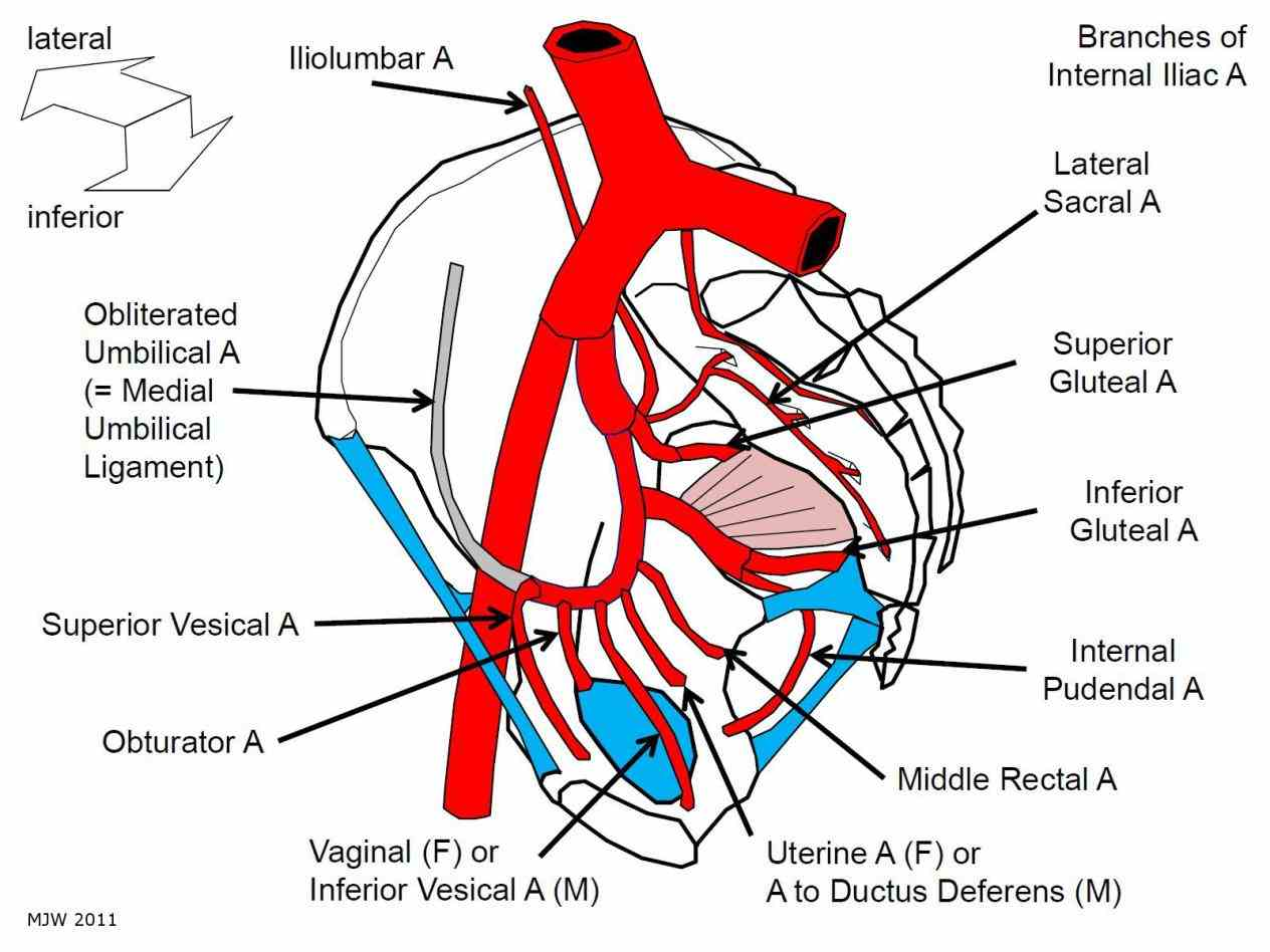 the Anatomy Of Internal Iliac Artery internal iliac artery is main of pelvis contents [hide] structure course anatomy