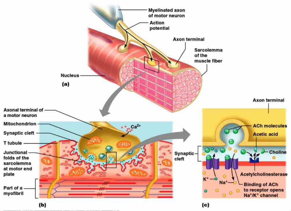 the Anatomy Of Neuromuscular Junction anatomy of neuromuscular junctions ivyrose holistic health page featuring diagram illustrating a junction