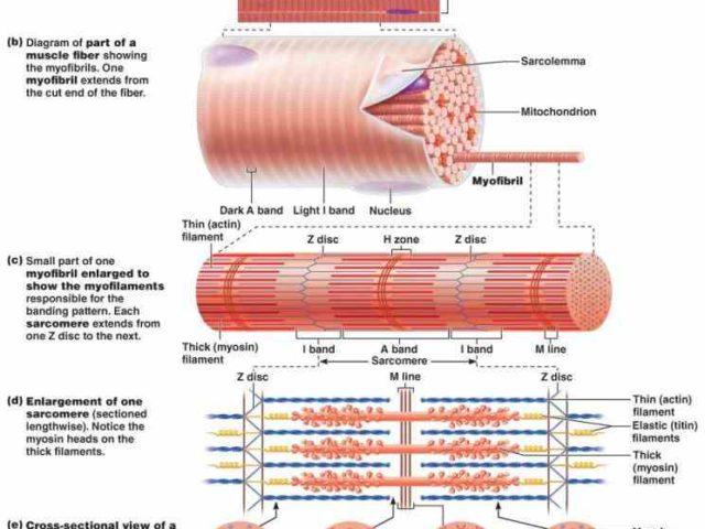 Anatomy of skeletal muscle