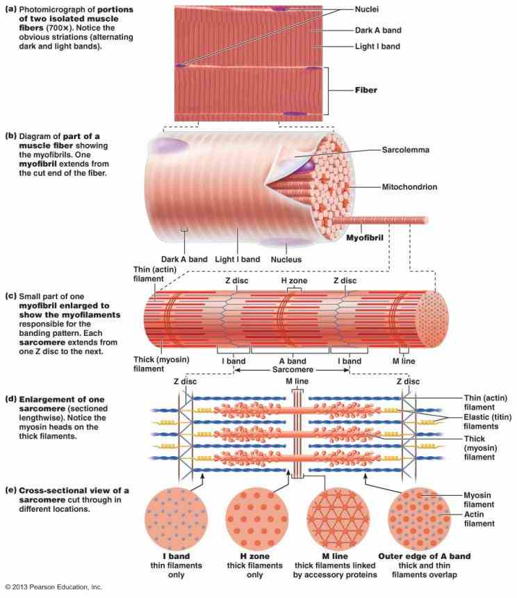 the Anatomy Of Skeletal Muscles smallest contractile unit of skeletal muscle is fiber or myofiber which a long