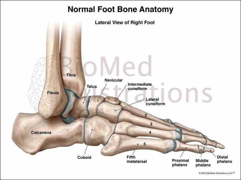 the Anatomy Of The Ankle Joint ankle is a complex mechanism what we normally think of as actually made