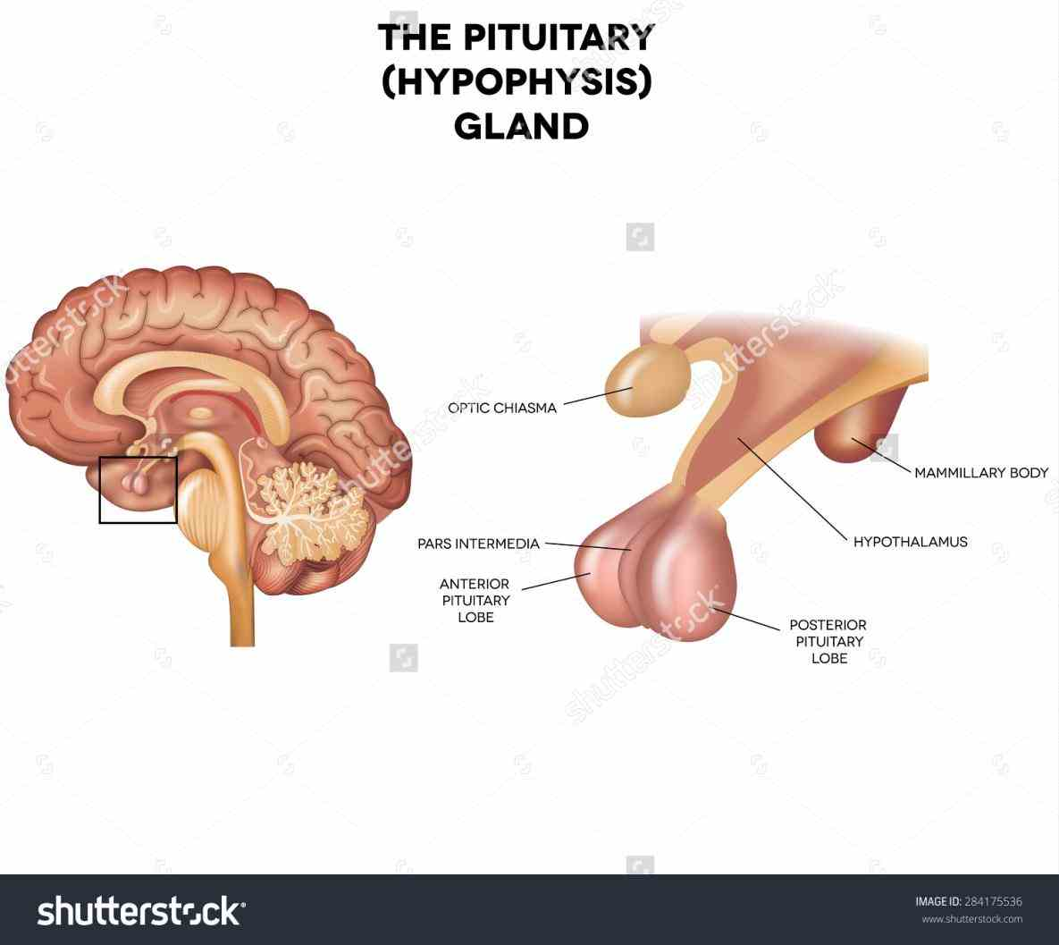 the Anatomy Of The Pituitary Gland pituitary gland is a small ovalshaped found inside skull at base of brain