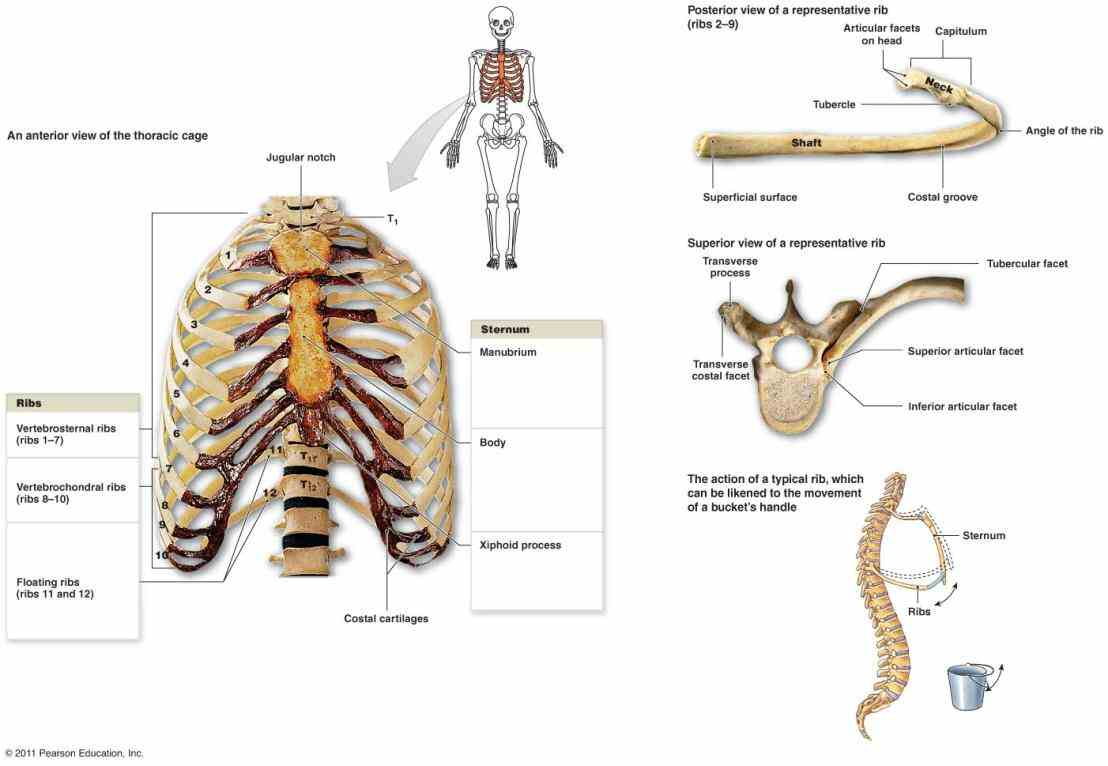 the Anatomy Of The Ribs And Sternum sternum commonly known as breastbone is a long narrow flat bone