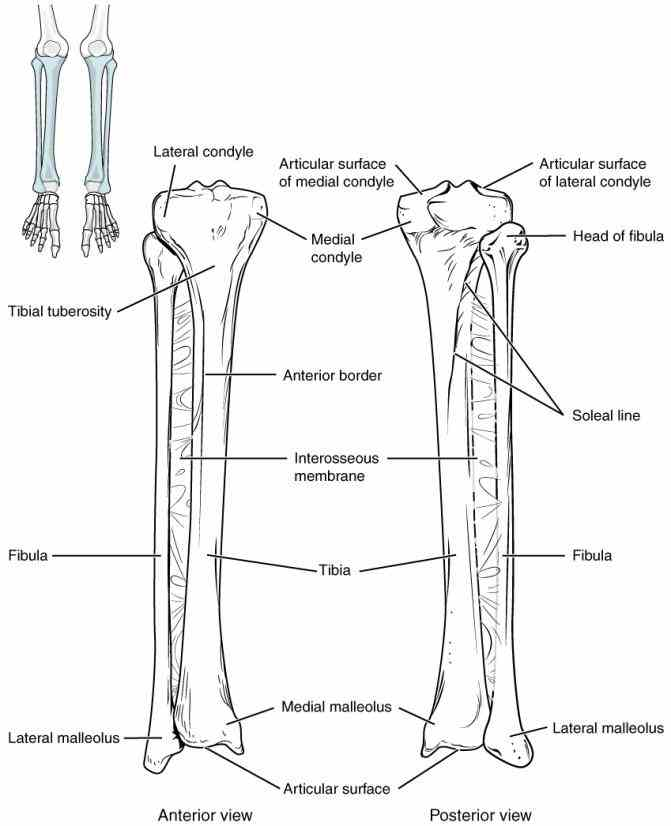 the Anatomy Tibia And Fibula Diagram fibula is long thin and lateral bone of lower leg it runs parallel
