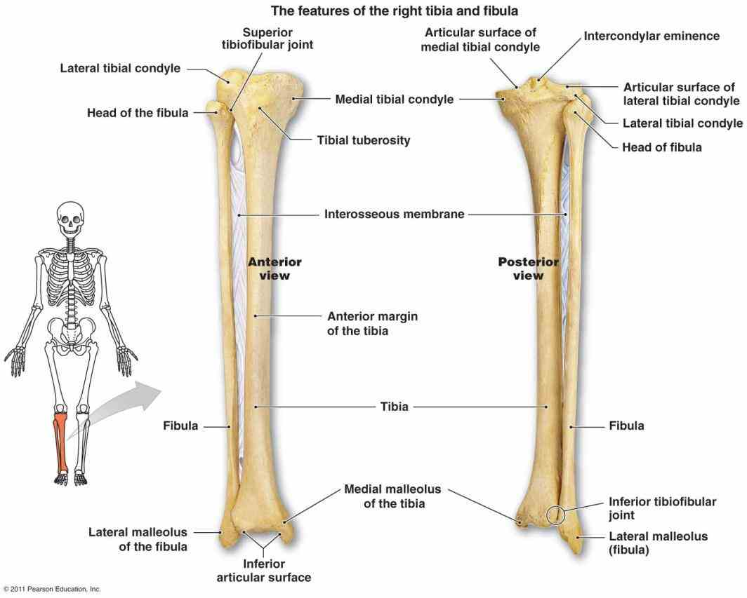 the Anatomy Tibia And Fibula Diagram tibia and smaller fibula bones comprise lower leg articulate at this is