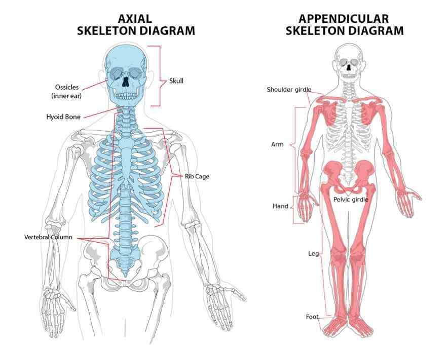the Appendicular Skeletal System appendicular skeleton includes bones of shoulder girdle upper limbs pelvic and lower lets take a