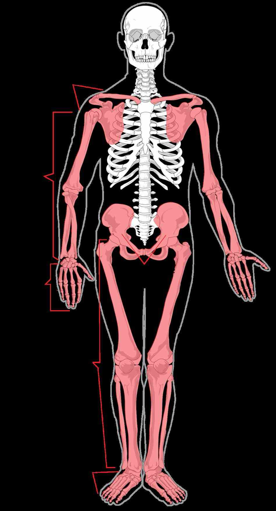 the Appendicular Skeletal System appendicular skeleton is portion of vertebrates consisting bones or cartilage that support appendages appeared
