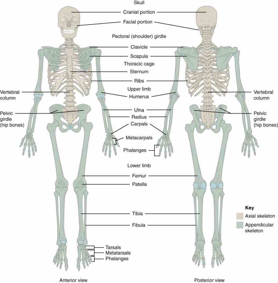 Anatomy appendicular skeleton