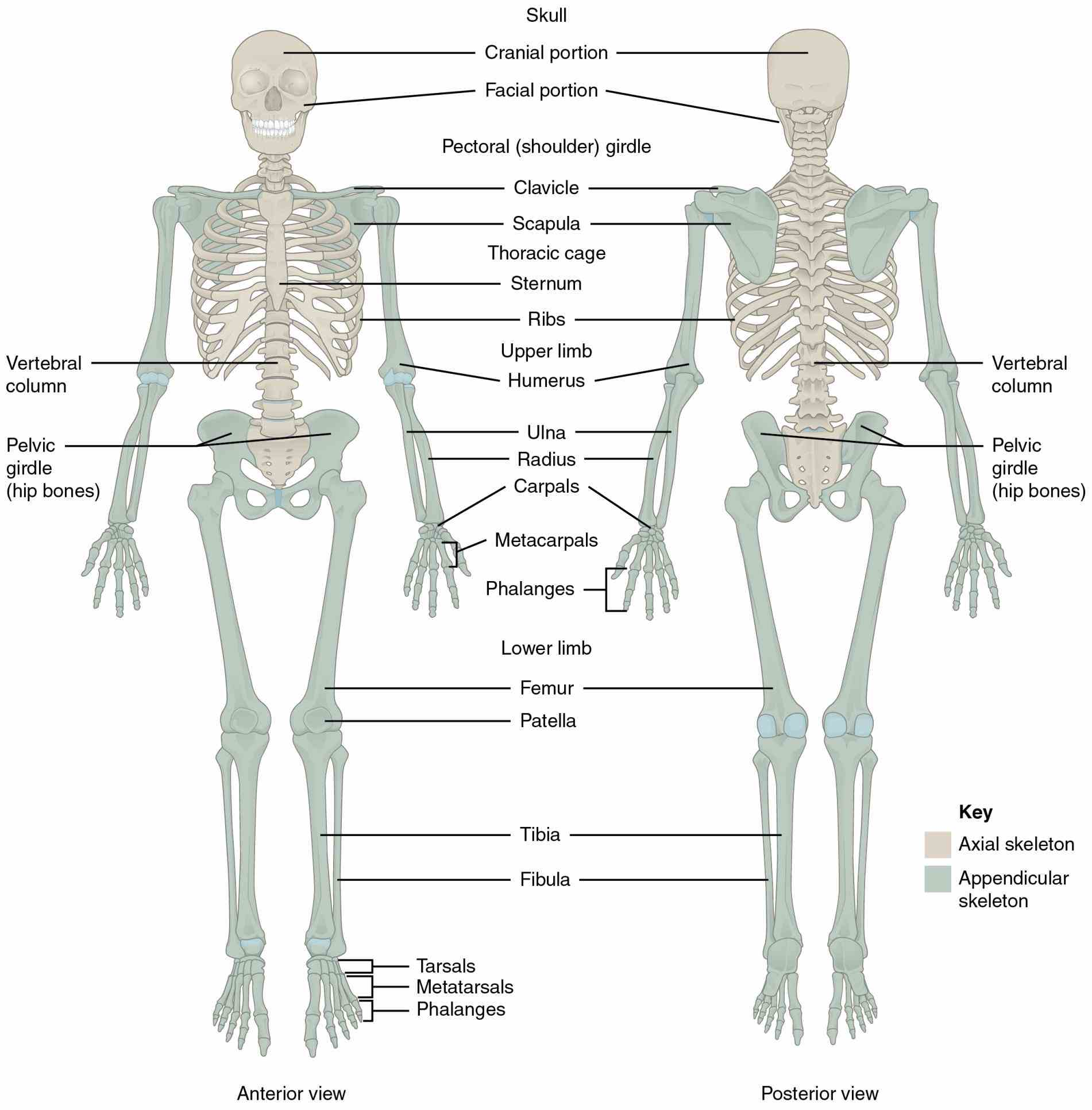 the Appendicular Skeleton Structure Anatomy axial skeleton includes all bones that form bony structures along bodys long axis