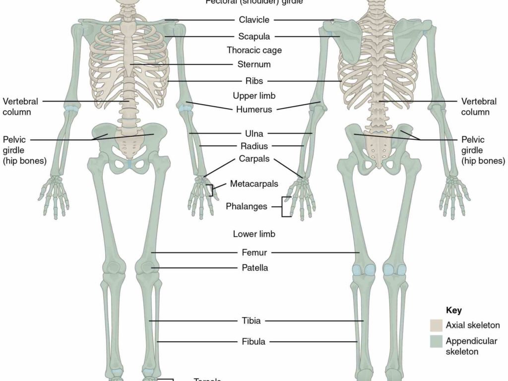 Lujo Appendicular Skeleton Anatomy And Physiology Festooning ...
