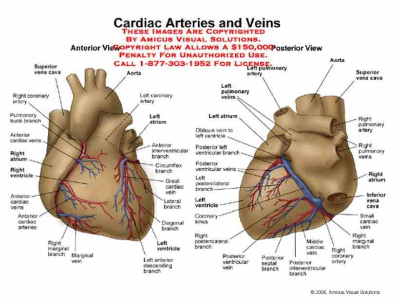 the Arteries In The Heart Diagram heart receives its own supply of blood from coronary arteries two major