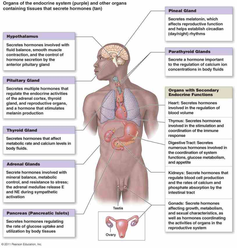 the Endocrine System Organs And Their Functions human endocrine system – explore anatomy of glands and their importance