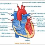 the External Structure Of Heart Anatomy Diagram thickness ...