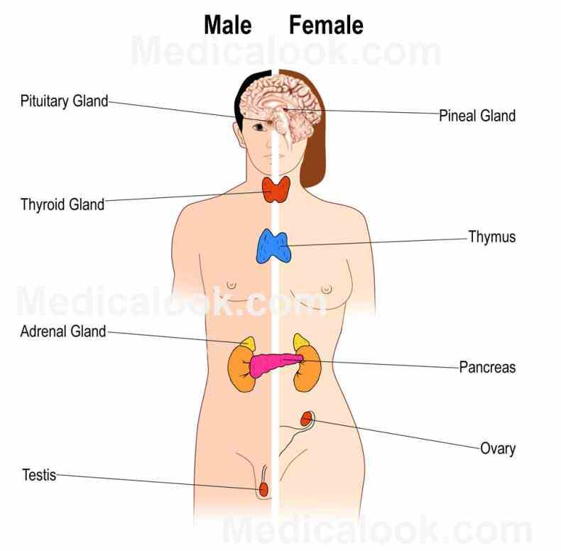 the Female Glands In The Body endocrine system includes all of glands body and hormones ovaries produce female