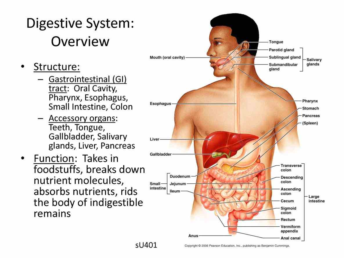 The Glands Of The Digestive System Anatomy Human Digestive System