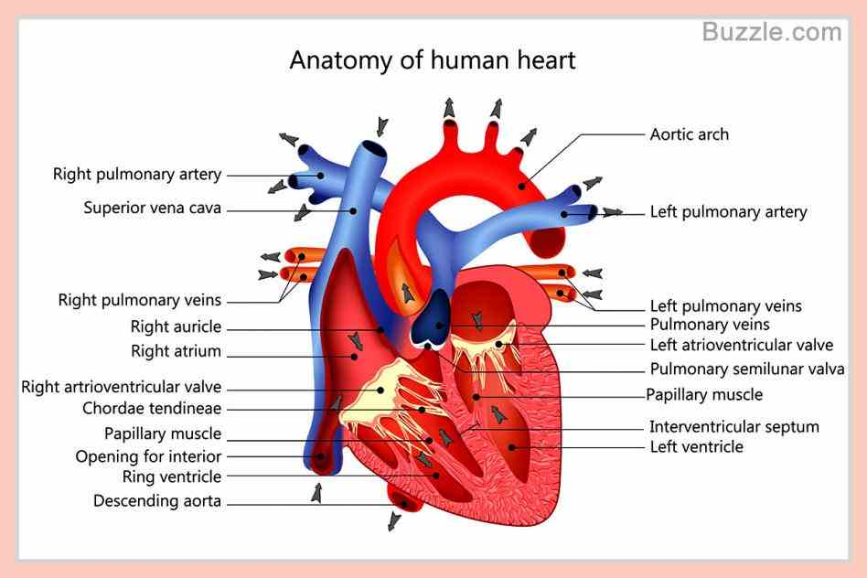 the Heart Diagram With Labels And Functions heart is a muscular organ about size of closed fist that