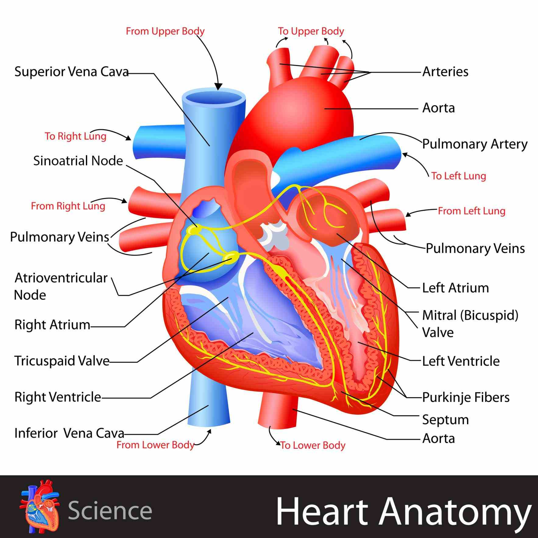 the Heart Structures And Functions Anatomy heart is a muscular organ about size of closed fist that functions