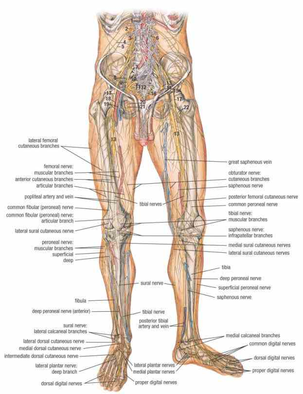 the Human Detailed Structure Leg knee is a pivotlike hinge joint in leg that connects bones upper and