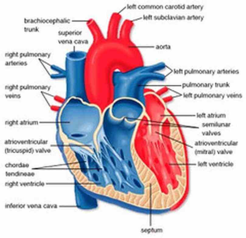 the Interior View Of The Human Heart heart is a muscular organ about size of closed fist that