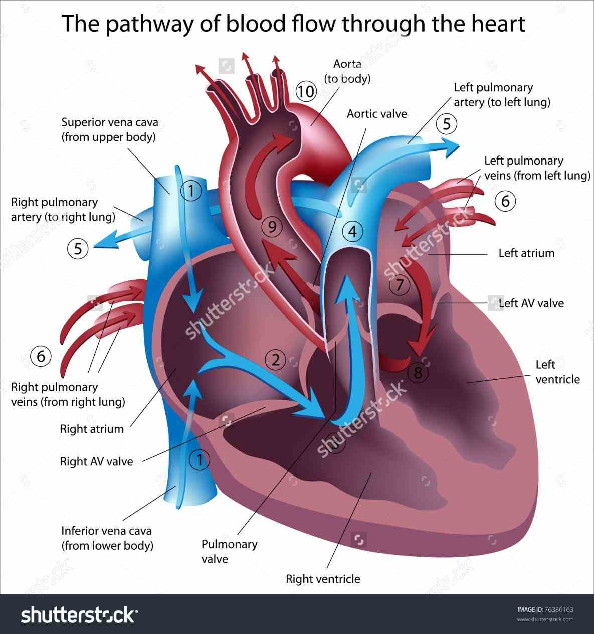 the Labeled Diagram Of The Heart And Blood Flow blood coming out of left ventricle to aorta is