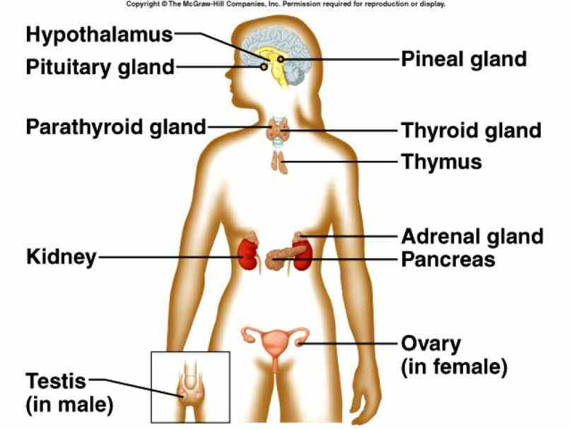the Labelled Endocrine System Anatomy human endocrine system – explore anatomy of glands and their importance throughout body