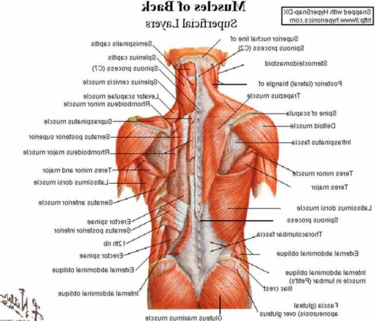 Lower back muscle anatomy