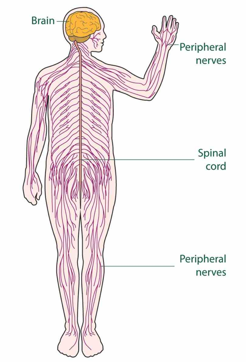 the Major Organ Of The Nervous System nervous system consists of brain spinal cord sensory organs and all