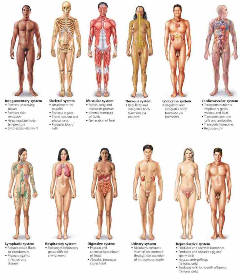 the Major System Of The Human Body Diagram main systems of human body are cardiovascular circulatory system circulates