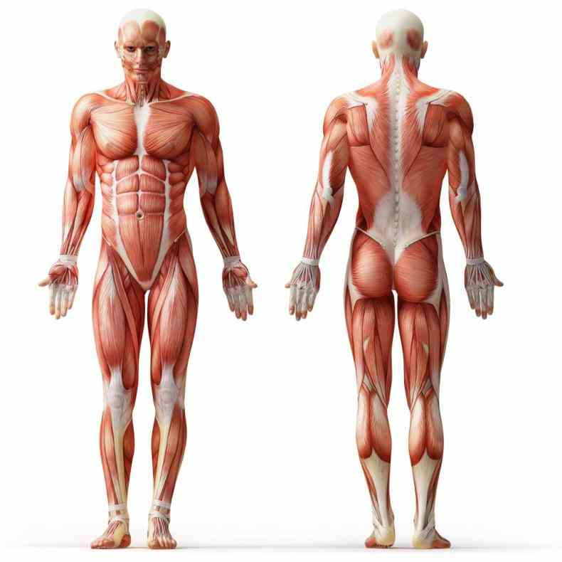 the Muscle Anatomy Of The Human Body following labelled diagram of human anterior muscles includes some required by