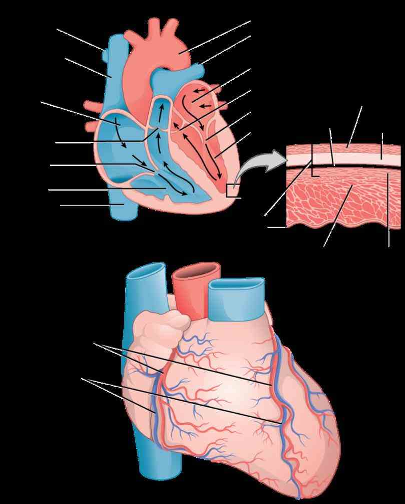 the Muscles Of The Heart Are Called myocardium is muscle tissue of heart composed cardiac cells called cardiomyocytes that