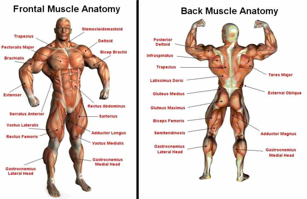 the Muscular Parts Of The Body function of skeletal muscle is to contract move parts body closer bone