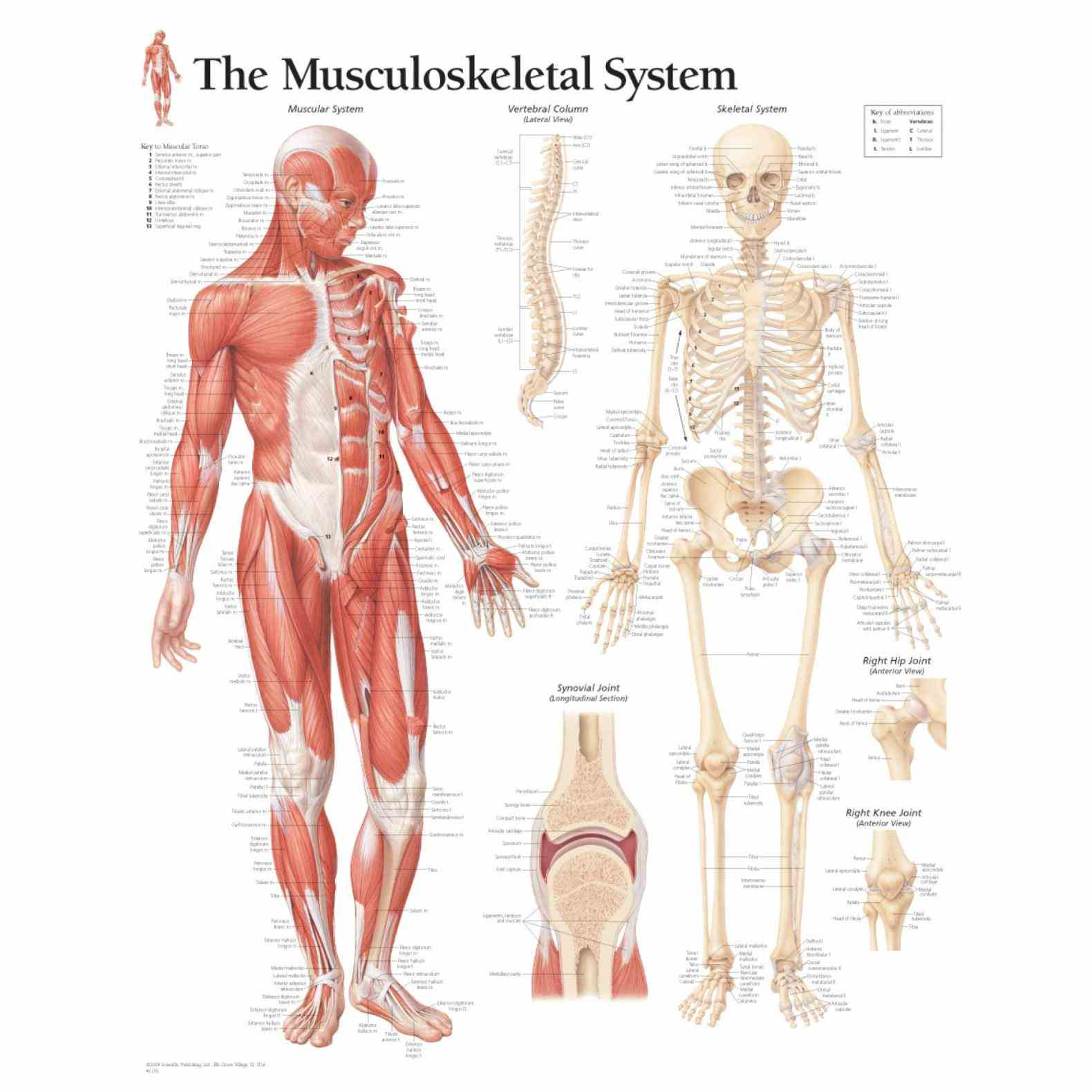 the Muscular Skeletal System human musculoskeletal system is an organ that gives humans ability to move using their
