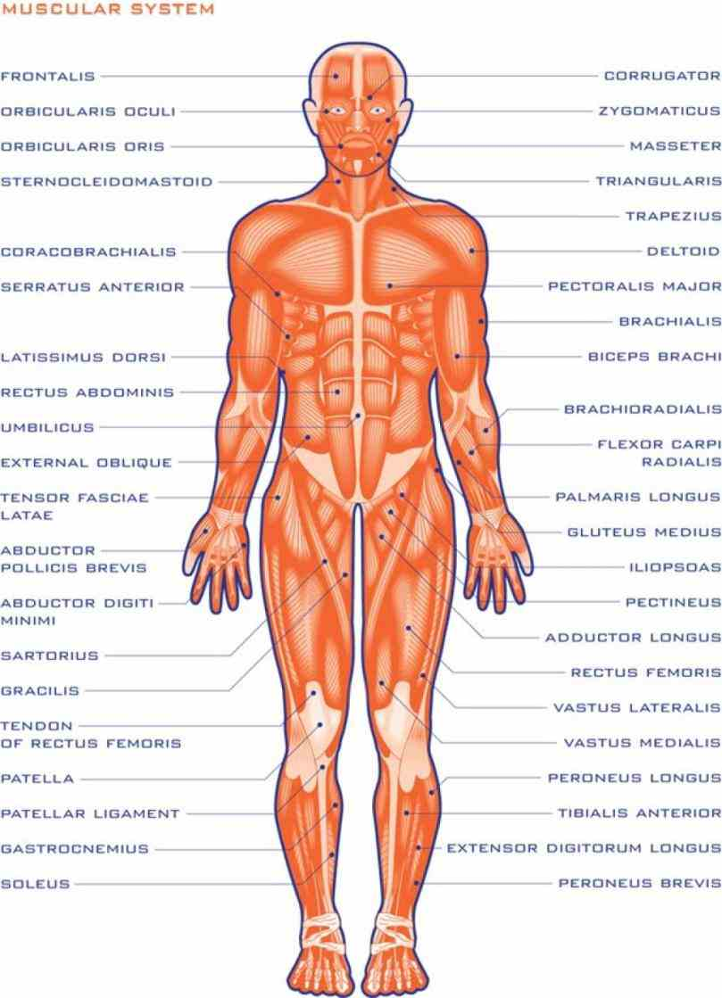 the Muscular System Human Anatomy muscular system is an organ consisting of skeletal smooth and cardiac muscles it permits