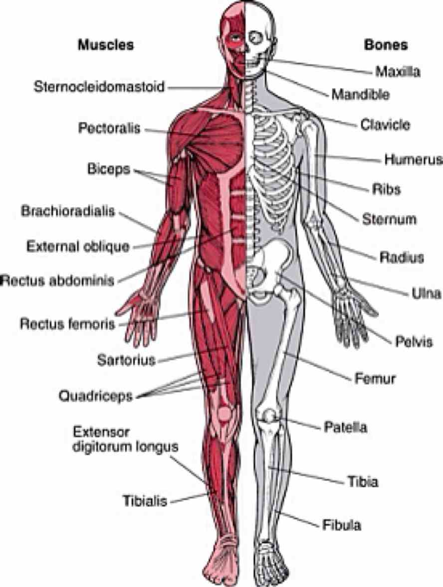 the Musculoskeletal System Structure skeletal system includes bones of skeleton and cartilages ligaments other connective tissue that stabilize