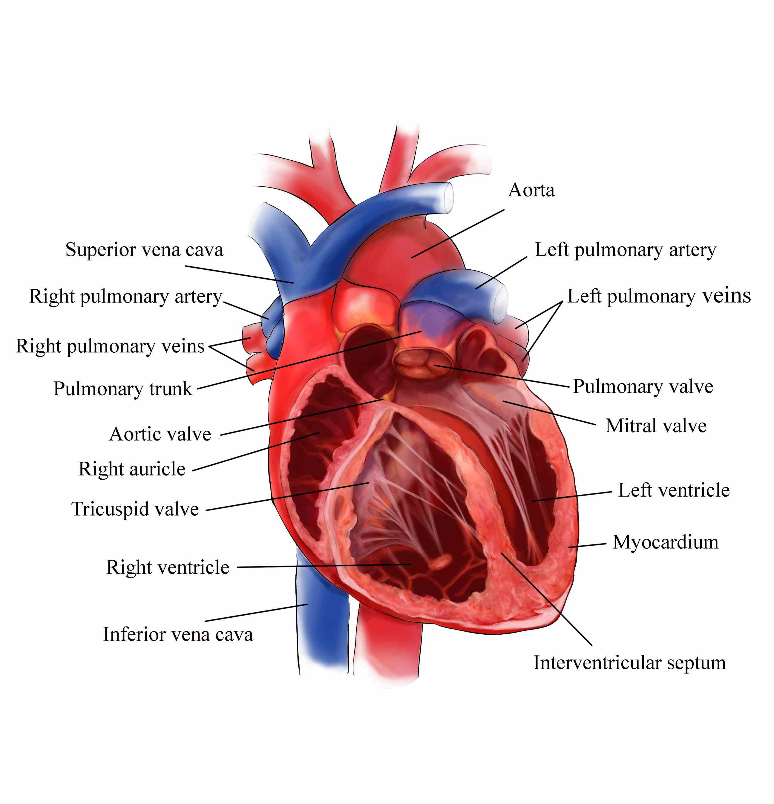 the chambers of heart showing not just a clear view anatomy but how valve tissue actually pulsates inside your