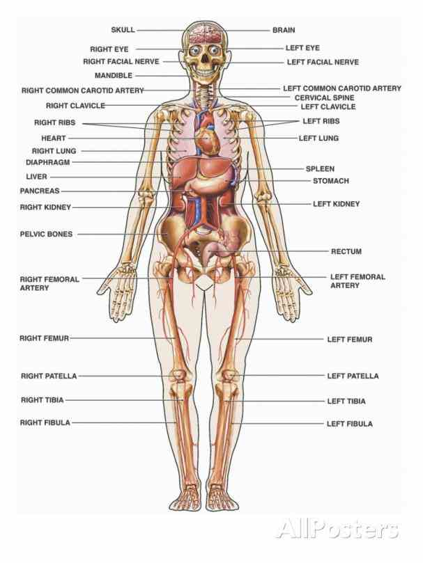 the female reproductive system – interactive anatomy diagrams left and right sides of pelvic body cavity lateral to superior