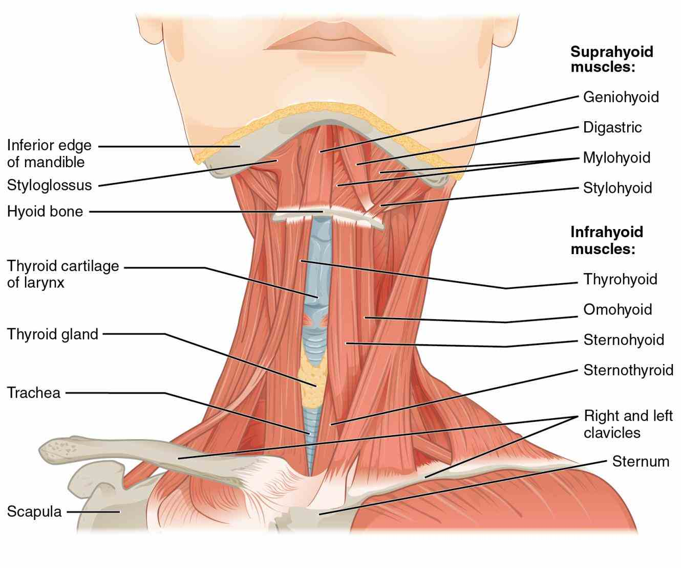 the first two illustrations concern cranial nerves at their olfactory nerve [i] anatomy labeled Labeled Illustration Head And Neck