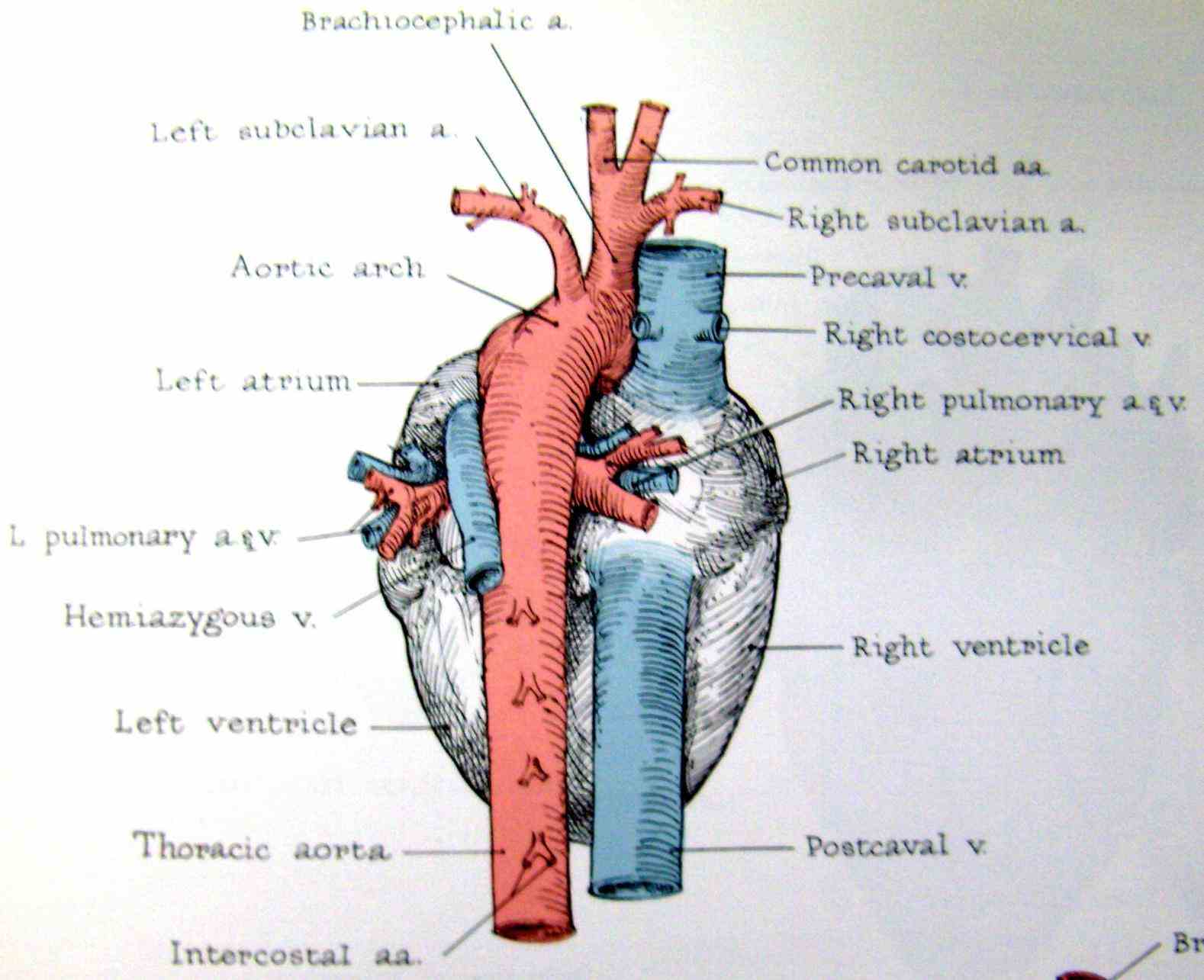 the great vessels of heart provide passage blood to and from arteries veins there are four in all corresponding