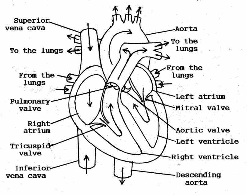the heart is a muscular organ that pumps your has four chambers valves regulate blood flow  holes Heart Anatomy