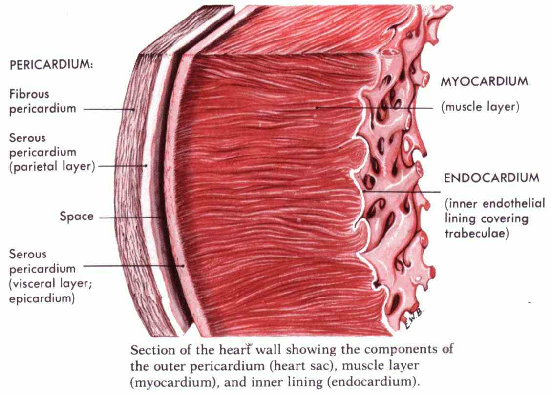the heart protective sac enclosing outer layer lines internal surface of fibrous pericardium the Double Layered Membrane Around The