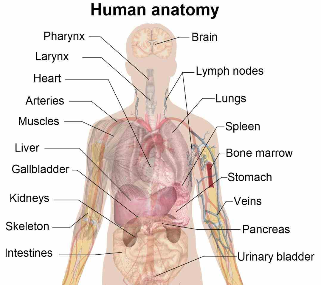 the human body de Chart Of Human Body Organs Anatomy mar webmd llc all rights reserved prev · next