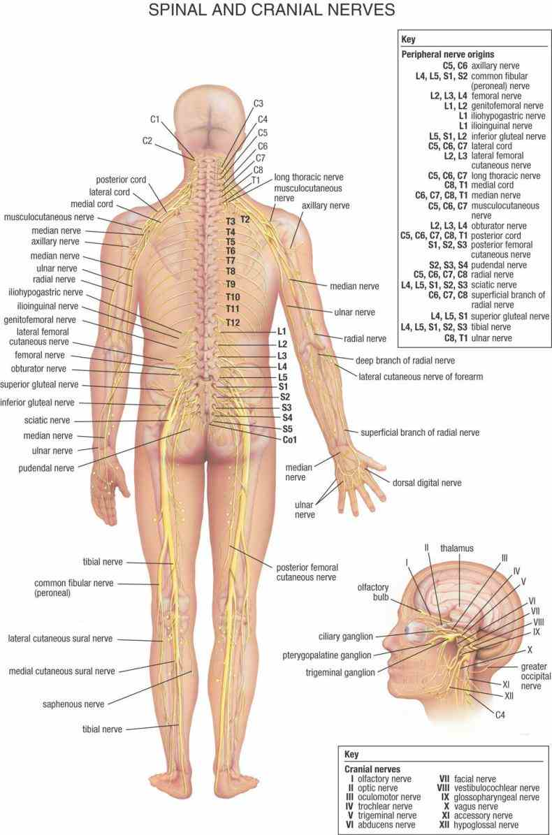 the human body ix neurology spinal nerves spring from medulla spinalis and are transmitted through intervertebral foramina de Anatomy